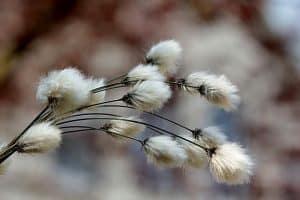 צמח הכותנה