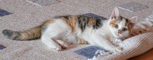 חתול על השטיחים
