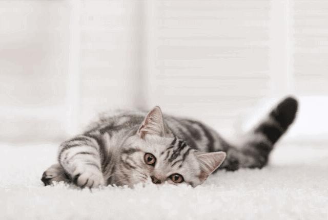 שטיח עבה, חתול מתכרבל בשטיח